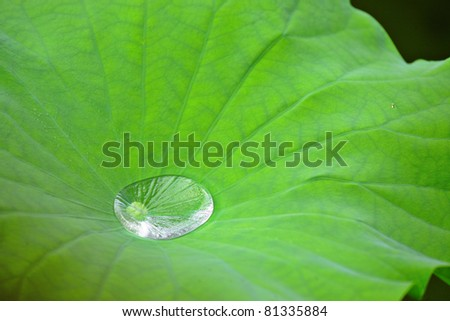Drop water on Lotus leaf - stock photo