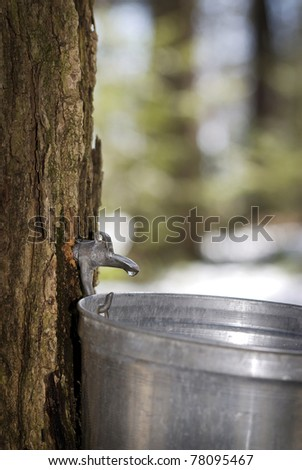 Droplet of sap flowing from the maple tree into a pail for make pure maple syrup - stock photo