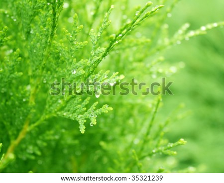 Drops of a rain on branches thuja - stock photo