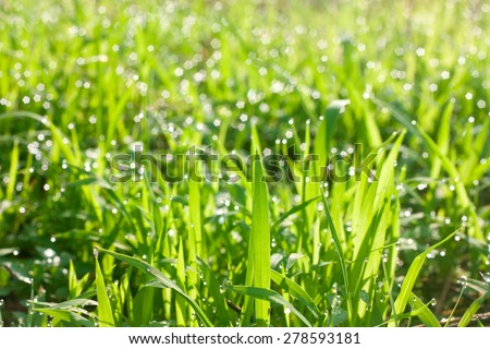 drops of dew on a green grass , fresh morning - stock photo