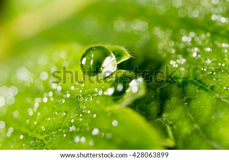 drops of dew on a green leaf strawberries. macro