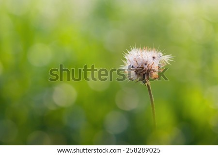 Drops of dew on the flower grass with green  blur background - stock photo