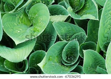 Drops of dew water on a fresh green hosta leafs - stock photo