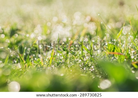 Drops of early dew on the blades of grass