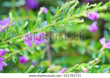 Drops of water on False Heather Texture and background, Mexican false heather, Hawaii false heather, elfin herb, or Cuphea hyssopifolia