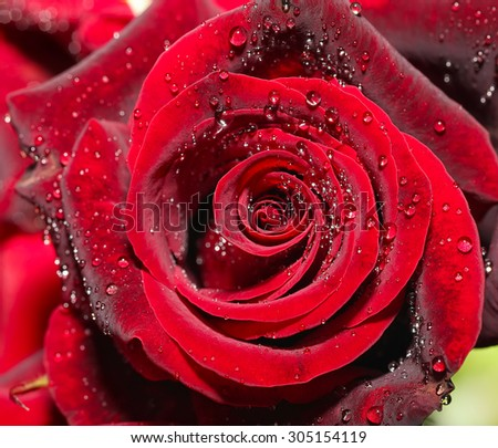 Drops of water on the rose. Close up shoot - stock photo