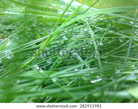 Drops on Grass. Dew on Grass. - stock photo