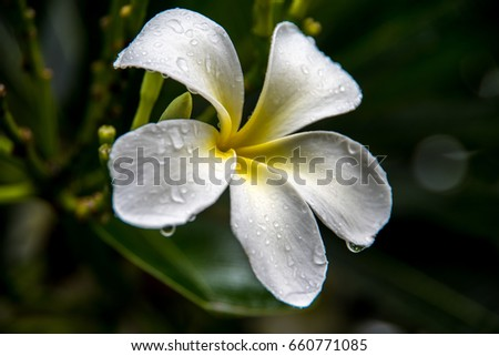 drops on white frangipani flowers with leaves in background