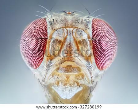 Drosophila melanogaster fruit fly extreme close up macro - stock photo