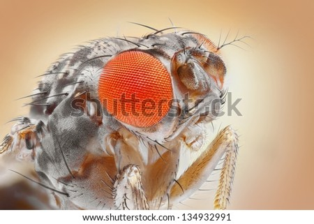 Drosophila melanogaster, the common fruit fly, extreme sharp 25x magnification shot taken with special microscope objective. - stock photo