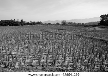 Drought cornfield black and white background.  - stock photo