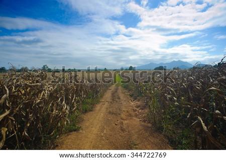 Drought Damaged Cornfield:corn stalks - stock photo