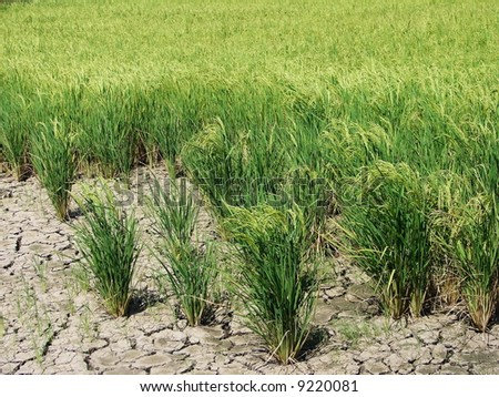 Drought issue for rice paddy field - stock photo