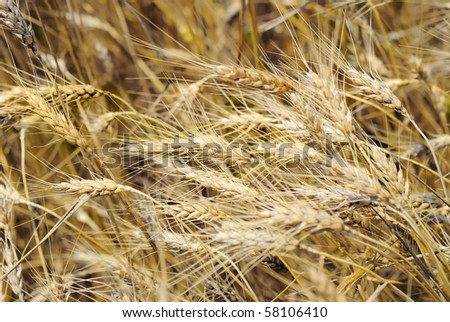 Drought on a wheaten field - stock photo