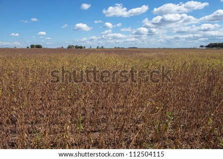 drought soybean field - stock photo