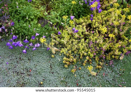 Drought-tolerant woolly silver thyme, golden sedum, and miniature blue bellflowers are perennial low creeping groundcovers blooming together along a garden pathway. - stock photo
