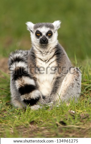 drowsy ring tailed lemur sat amidst vibrant green grass/Ring Tailed Lemur - stock photo
