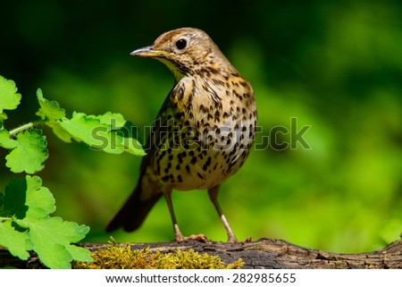 Drozd on green nature background - stock photo