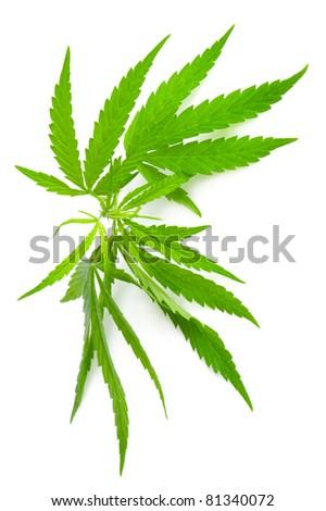 Drug cannabis. Marijuana flower bud isolated on white background - stock photo