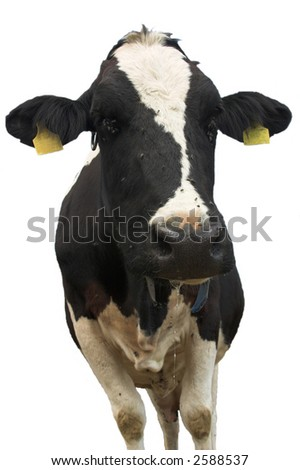druling cow-isolated - stock photo