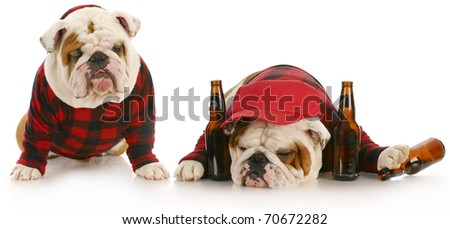 drunk dogs - two english bulldogs that have partied too hard - stock photo