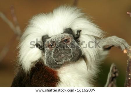 drunk little staring monkey (Saguinus oedipus) - stock photo