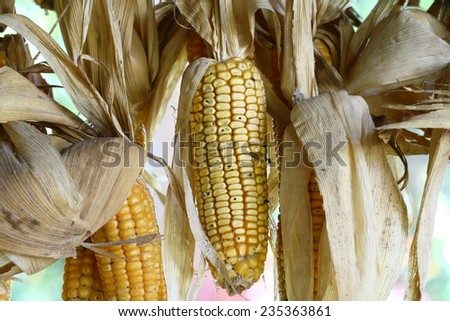 dry and dirty corn background, Hanging Dry corn cob on the wall. arid agriculture.