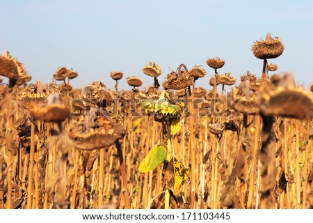 Dry and ill sunflowers after a long drought period - stock photo