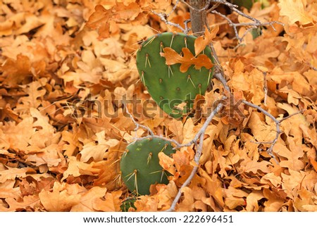 Dry autumn Gambel Oak leaves pile up around prickly pear cactus in Maxwell Canyon Park, Utah, USA. - stock photo