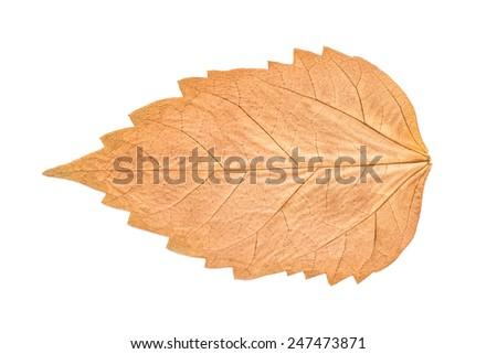 Dry Autumn Leaf Isolated On White - stock photo