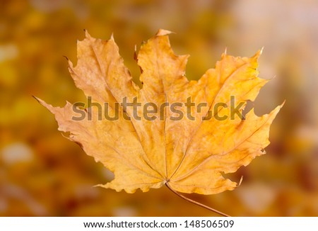 dry autumn maple leaf on yellow background