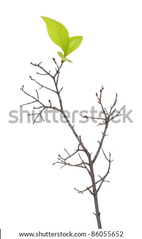 Dry branch with leaf buds - stock photo