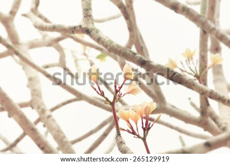Dry branches and Plumeria flower on white background,soft pastel - stock photo