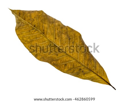 Dry brown leaf texture closeup with isolated background