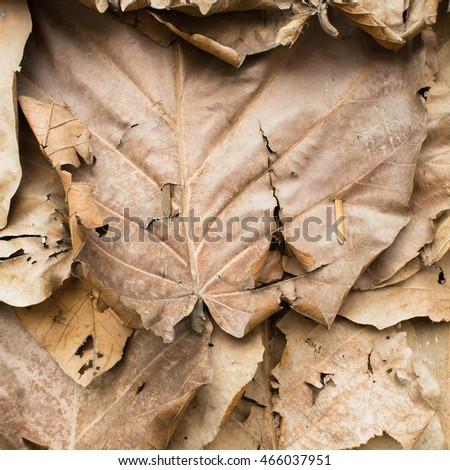 Dry brown leaves texture of tropical almond, Terminalia catappa