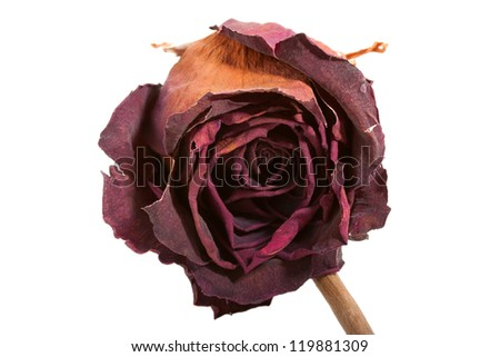 Dry bud of a red rose. Isolated on white. - stock photo