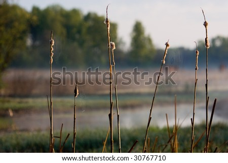 dry bulrush on the slew - stock photo