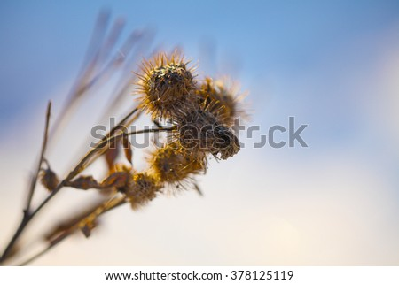 dry bur at sunset. Shallow depth of field