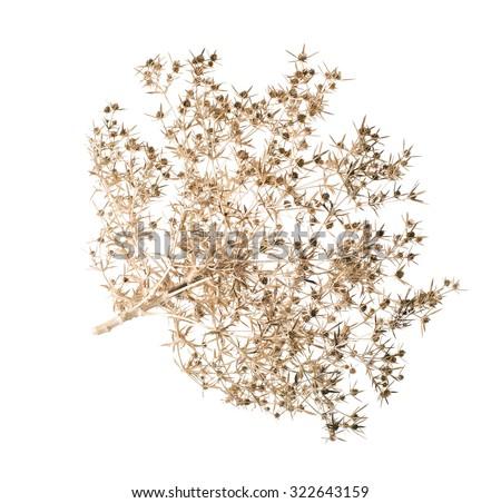 Dry bush tumbleweed. (Eryngium campestre). isolated - stock photo