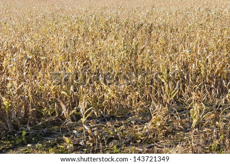 Dry cattle feed corn waiting to be harvested. - stock photo