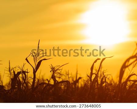 Dry corn field at the beautiful yellow sunset. Autumnal landscape. - stock photo