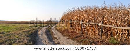 dry corn stalks  - stock photo