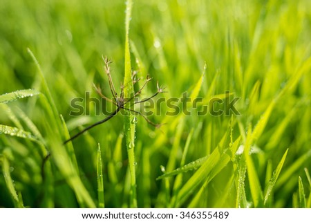 Dry dandelion and some water drops in grass - focus on water drops - Shallow DOF - stock photo
