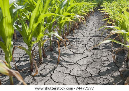 Dry drought stricken farm corn field dirt - stock photo