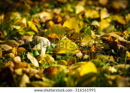 Dry fallen leaves lying on green grass. Outside sunny autumn day. - stock photo