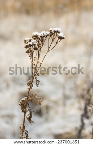 dry flower covered with snow in the winter - stock photo