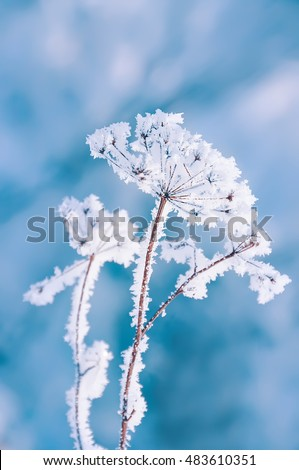dry flower inflorescence covered with white frost in the winter sunny day on natural winter background.