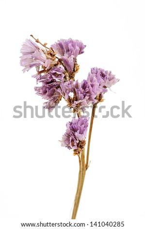 Dry flower isolated on white background - stock photo