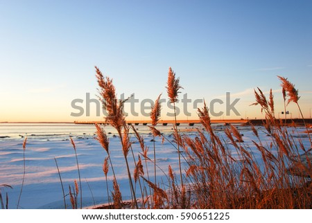 Dry fluffy reed flowers at winter season in front of the Oland Bridge in Sweden