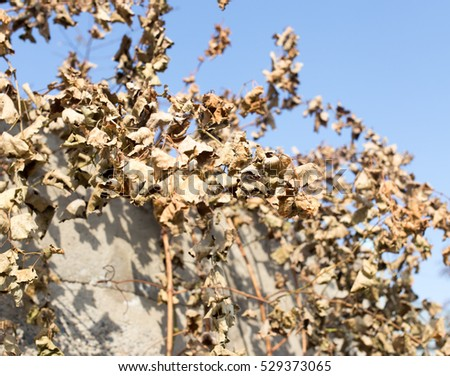 dry grape leaves against the blue sky